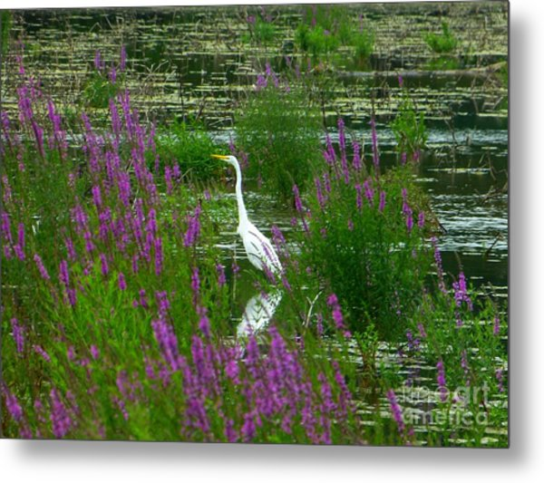 Great Egret - Purple Metal Print