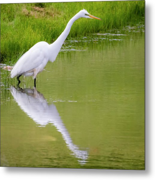 Metal Print featuring the photograph Great Egret Ready To Pounce by Ricky L Jones