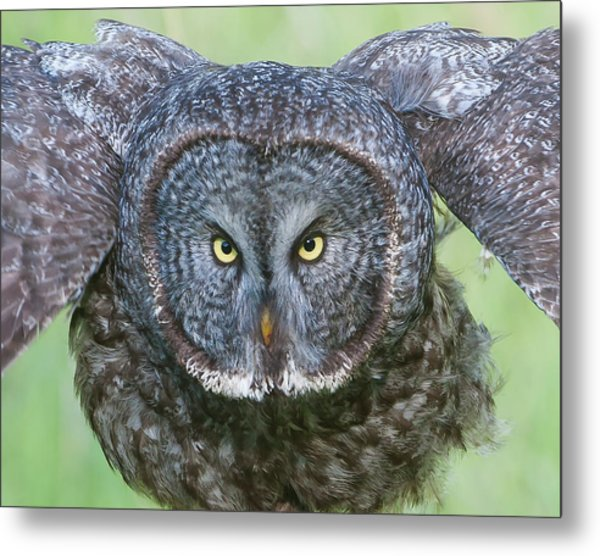 Great Gray Owl Flight Portrait Metal Print
