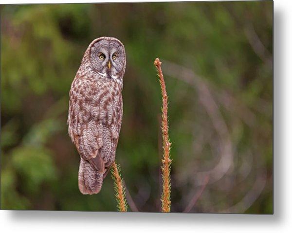 Great Gray Owl Pose Metal Print