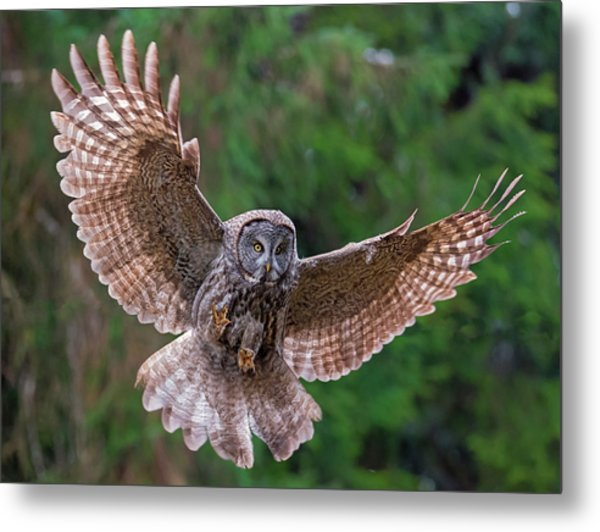 Great Gray Owl Swoop Metal Print