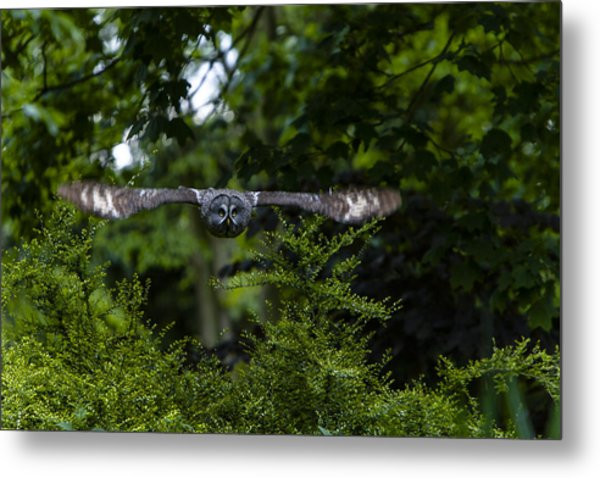 Great Grey Owl In Flight Metal Print