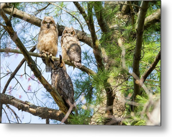 Great Horned Owl Family Metal Print