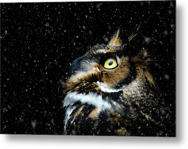 Great Horned Owl In The Snow Metal Print by Tracy Munson