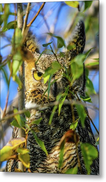Great Horned Owl Peeking At It's Prey Metal Print