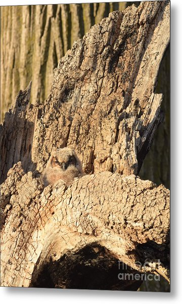 Great Horned Owlet Two Metal Print