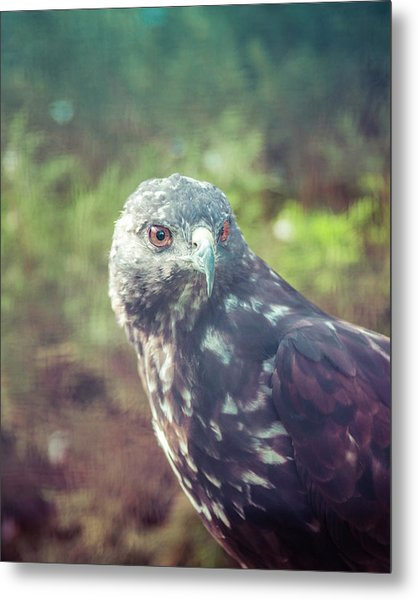 Great Plains Red-tailed Hawk Metal Print by Betsy Armour