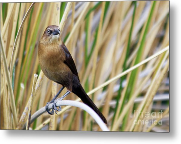 Great-tailed Grackle Metal Print