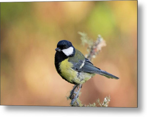 Great Tit - Parus Major Metal Print
