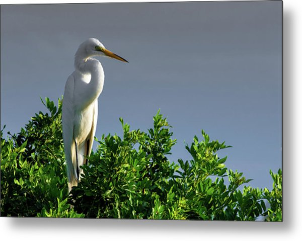 Great White Egret  Metal Print