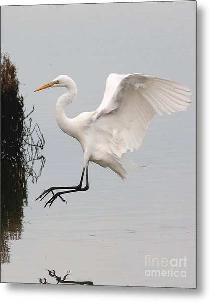 Great White Egret Landing On Water Metal Print by Wingsdomain Art and Photography