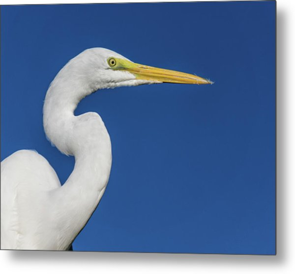 Great White Heron Metal Print