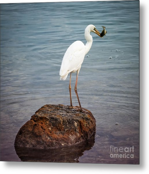 Great White Heron With Fish Metal Print