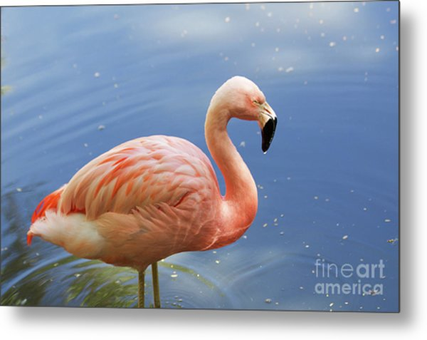 Greater Flamingo Metal Print