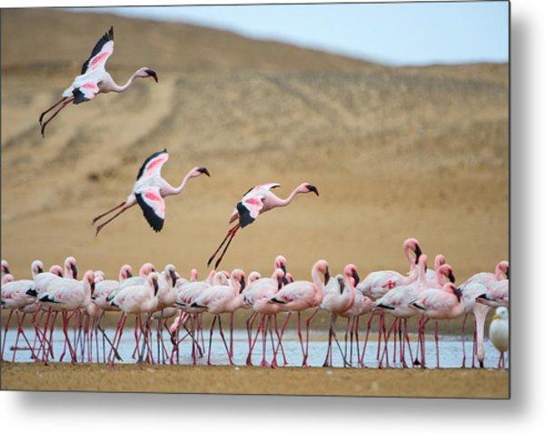 Greater Flamingos Phoenicopterus Metal Print