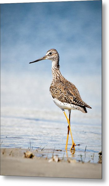 Greater Yellow Legs At Rachel Carson Estuarine Reserve Metal Print
