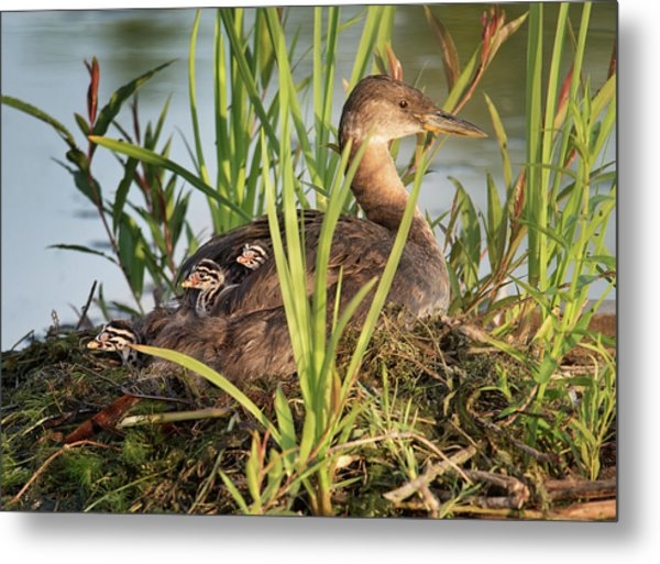 Grebe And Chicks Metal Print