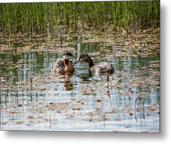 Grebe Breakfast Metal Print