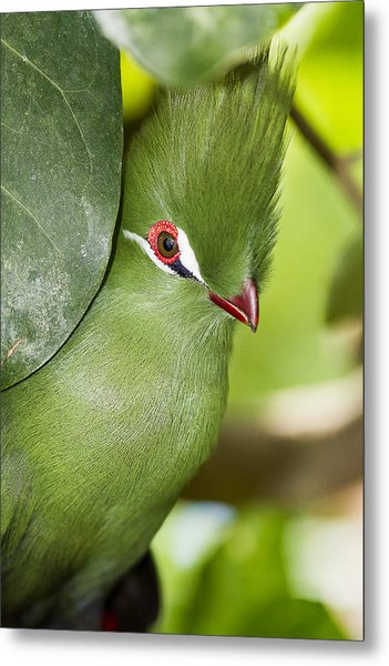 Green Turaco Bird Portrait Metal Print