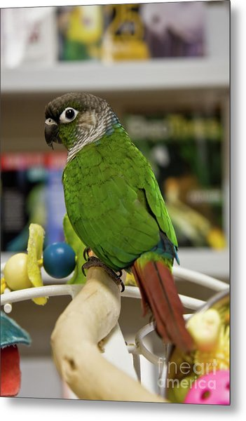 Green Cheek Conure Metal Print
