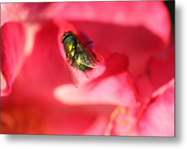 Green Fly Metal Print by Kerry Reed