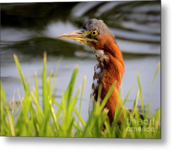 Green Heron Closeup  Metal Print