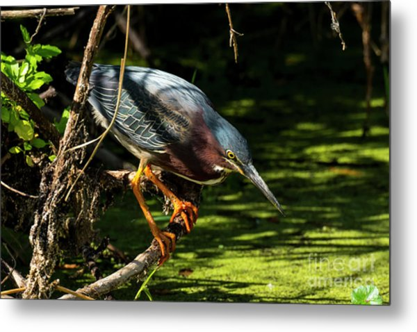 Green Heron Metal Print