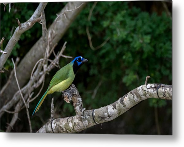 Green Jay Metal Print