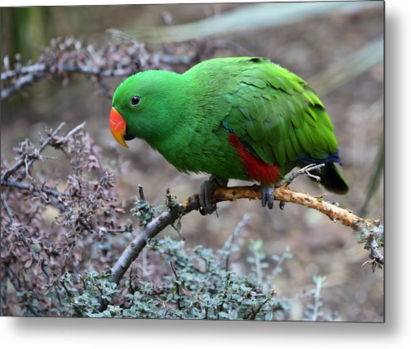 Green Male Eclectus Parrot Metal Print