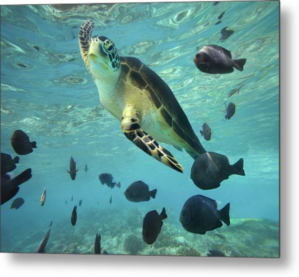 Metal Print featuring the photograph Green Sea Turtle Balicasag Island by Tim Fitzharris