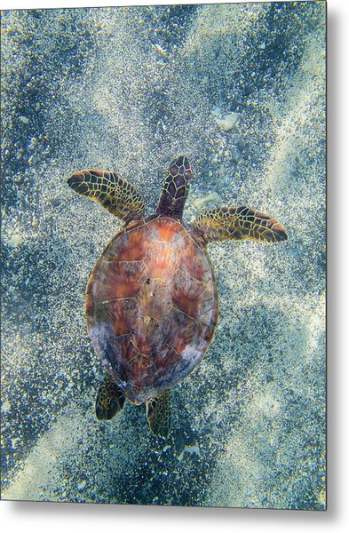 Green Sea Turtle From Above Metal Print