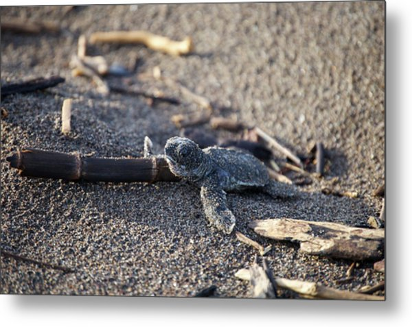 Green Sea Turtle Hatchling Metal Print