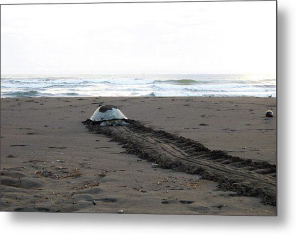 Green Sea Turtle Returning To Sea Metal Print