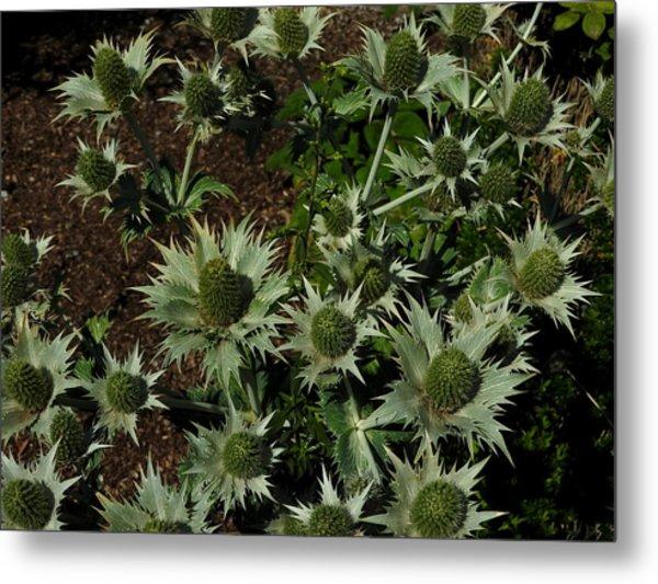 Green Thistles In Botanical Garden Of Bern Metal Print