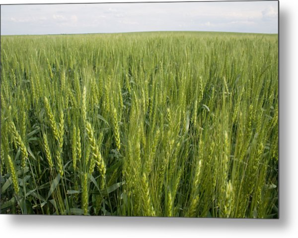 Metal Print featuring the photograph Green Wheat by Dylan Punke