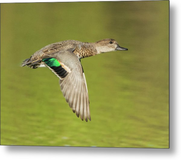 Green-winged Teal 6320-100217-2cr Metal Print