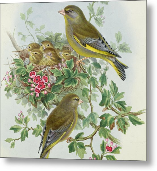 Greenfinch Metal Print