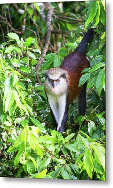 Grenada Monkey Metal Print