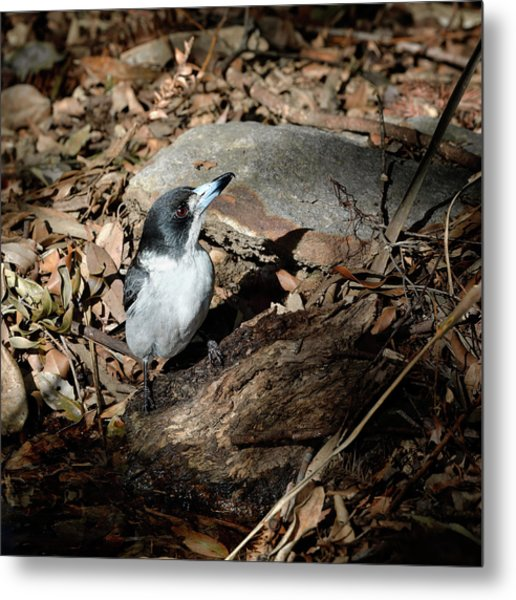 Metal Print featuring the photograph Grey Butcherbird by Nicholas Blackwell