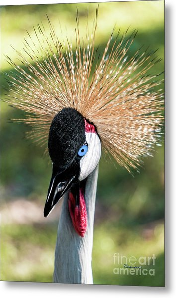 Grey Crowned Crane Gulf Shores Al 2041 Metal Print