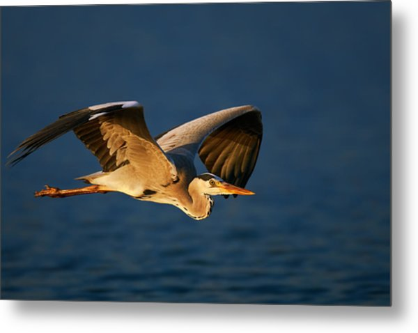 Grey Heron In Flight Metal Print
