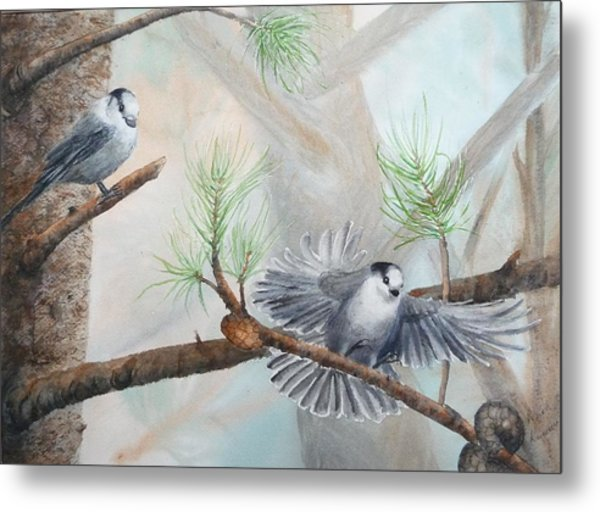 Grey Jays In A Jack Pine Metal Print