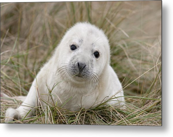 Grey Seal Pup Metal Print