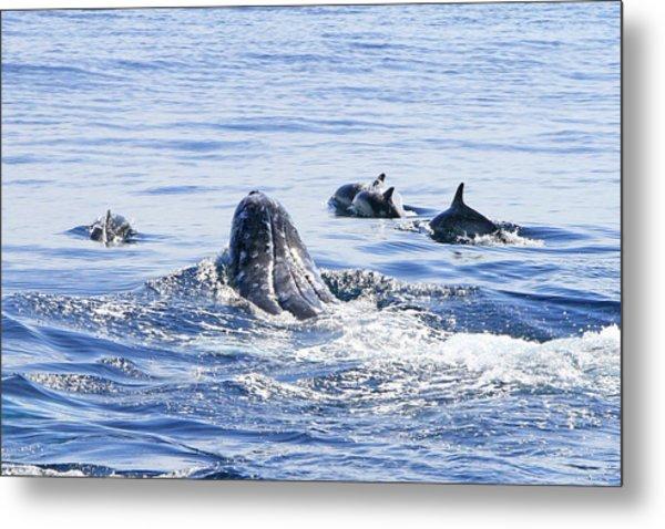 Grey Whale 1 Metal Print
