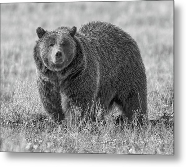 Brutus The Bear Metal Print