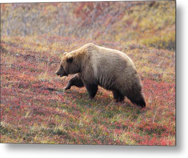 Grizzly At Denali National Park Metal Print