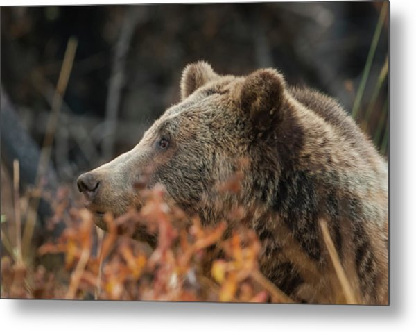 Grizzly Bear Portrait In Fall Metal Print