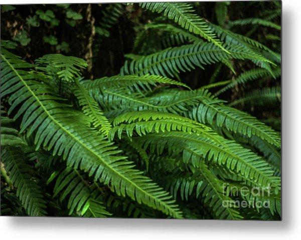 Grizzly Creek Redwoods Ferns Metal Print by Blake Webster