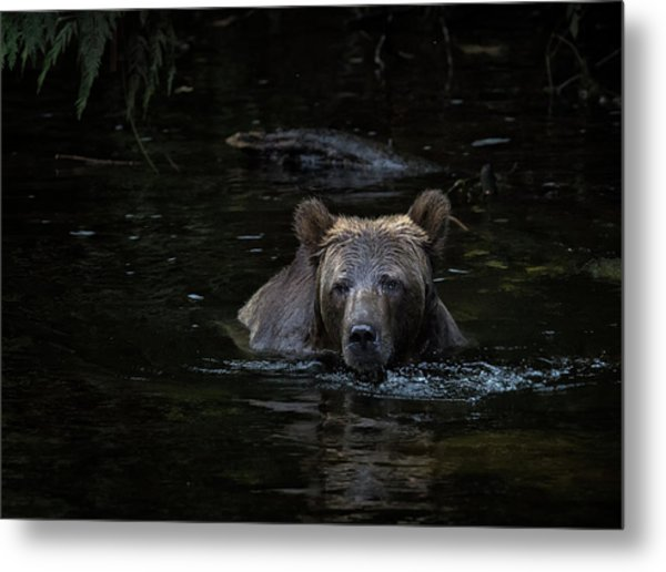 Grizzly Swimmer Metal Print