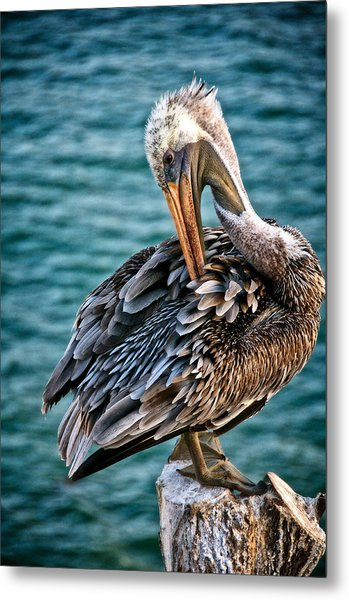 Grooming Session, California Brown Pelican Metal Print